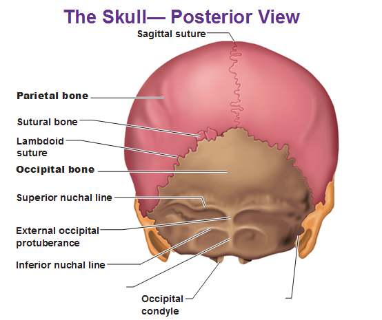 posterior-view-of-the-skull-parietal-bone-occipital